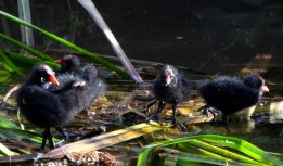 A family of moorhen chicks