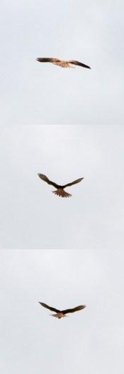 Distant raptor
