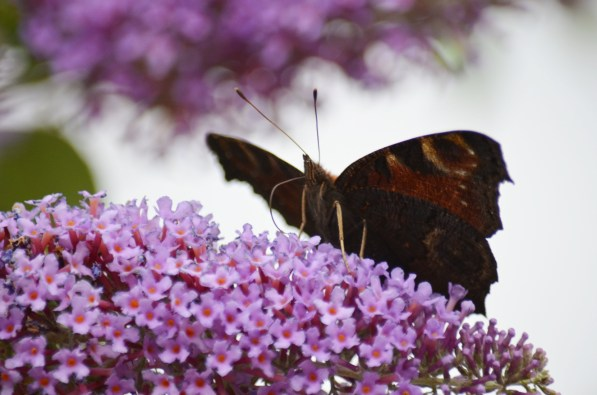 Buddleia with peacock butterfly