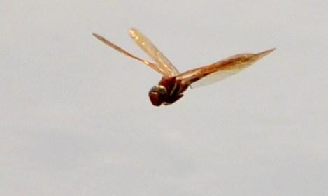 Brown Hawker