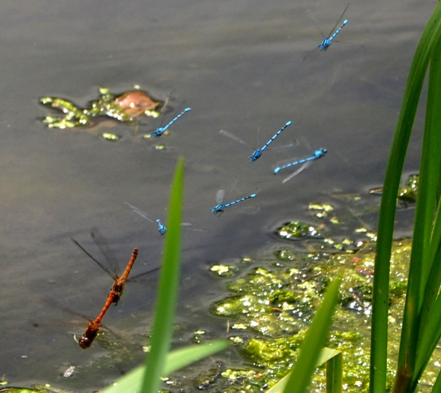 Brown Hawkers and Common Blues
