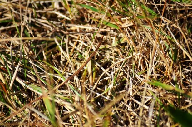 Spot the grasshopper