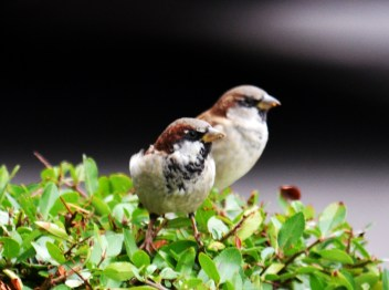 Sparrows outside M&S