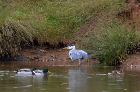 Who nicked the heron's neck?