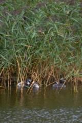 Grebe chicks under cover