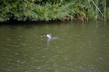 Grebe shaking after a dive