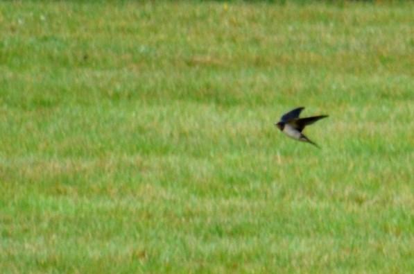 Swallows ...