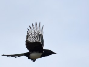Magpie doin' the buggerin' off