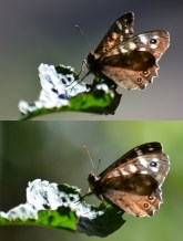Speckled wood (twice)