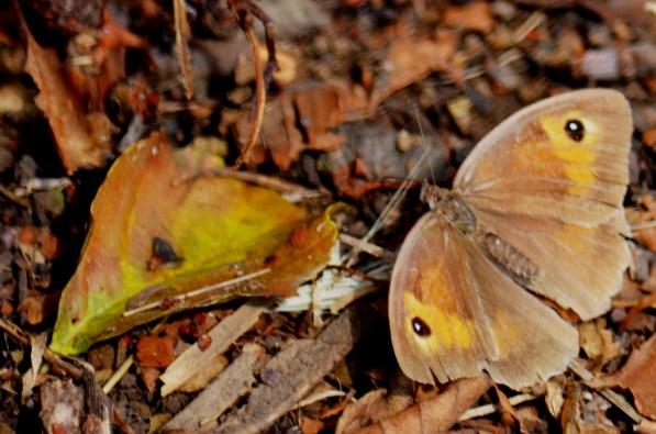 Meadow brown (1)