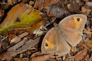 Meadow brown (2)