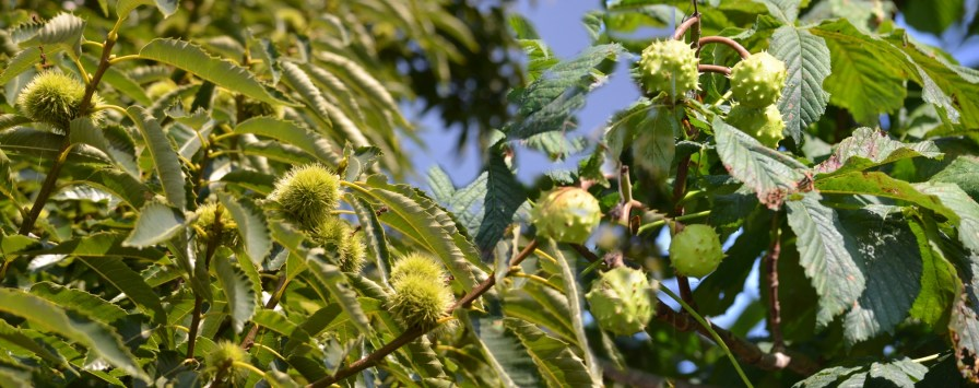 Plain- and horse- chestnut