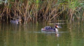 One on the back, two in the reeds.