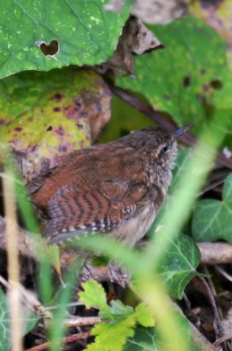 wren in the undergrowth