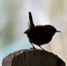 fence post wren
