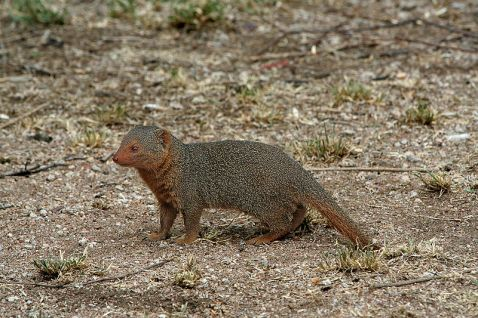 Mongooses of sundry shades and sizes