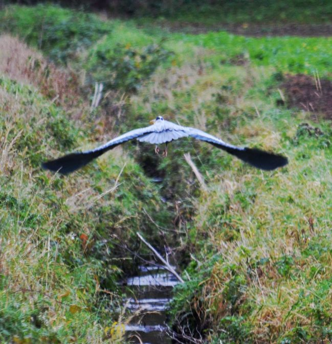 Heron moving down ditch