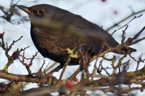 Blackbird berrying