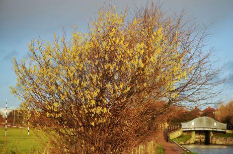 Hazel tree full of -