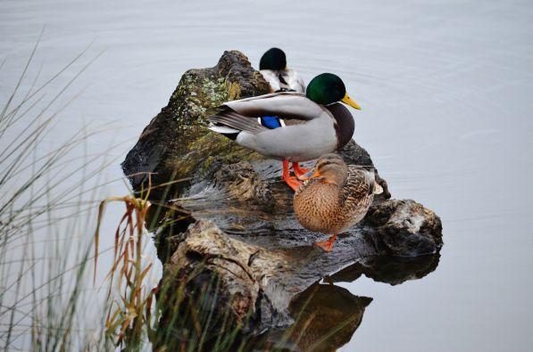 Mallards on log