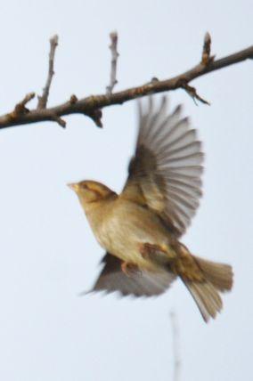 Caught in flight, sparrow