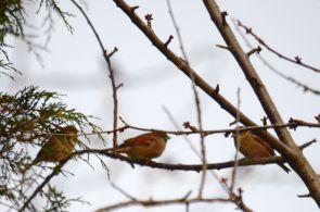 More sparrows