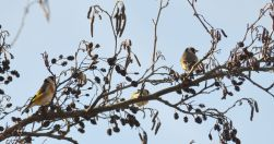 Goldfinches encore