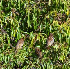 Ivy with sparrows
