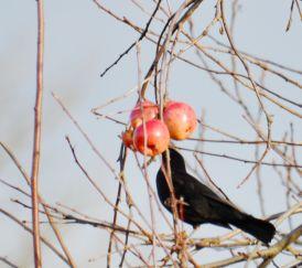 Backbird