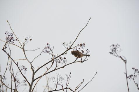 Bullfinch ...