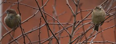 Sparrows in sparrow tree