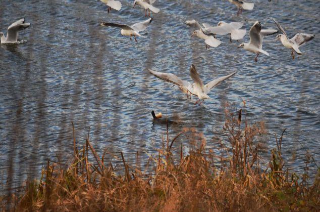 Gulls mobbing a coot