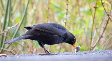 Blackbird extracting the meat from a snail