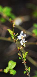 Blackthorn bloom