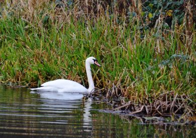 Swan on t' canal