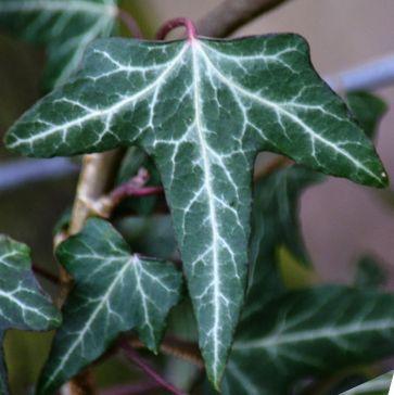 Lightning strikes along an ivy leaf
