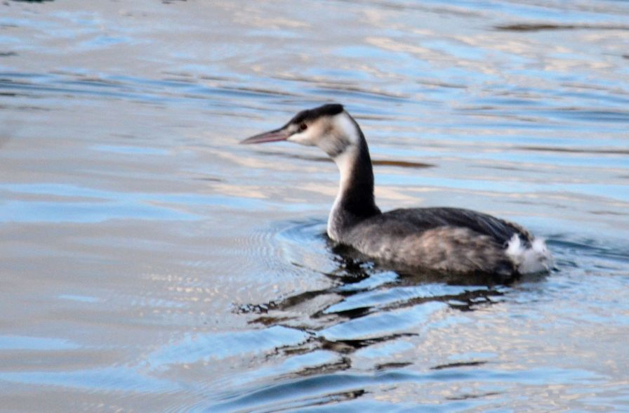 Can't have a day without a grebe.