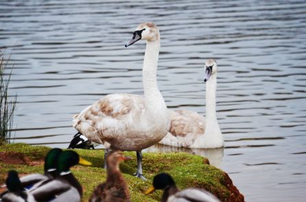 Our cygnets