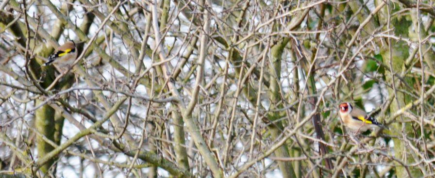 Goldfinch pairR