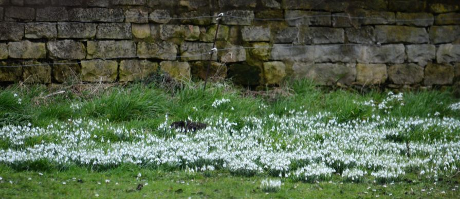 patch of snowdrops in an orchard