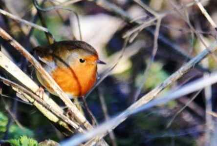 Moer robin
