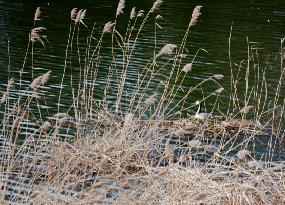 Grebe on the nest.