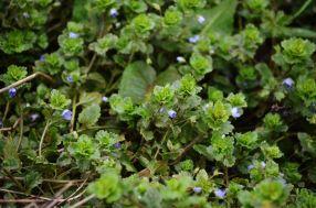 Tiny (really tiny) blue flowers