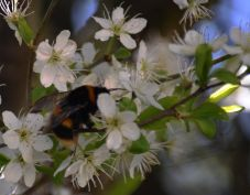 Bee on blackthorn