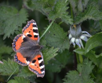 Tortoiseshell on a nettle leaf