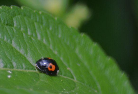 Inverted ladybird