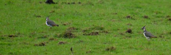 Lapwings or peewits