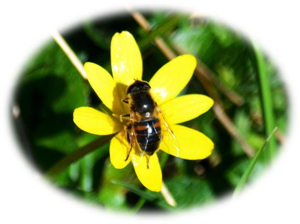Lesser celandine being pollinated!