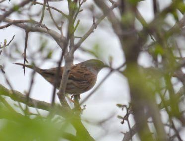 Sparrow, dunnock or ...?