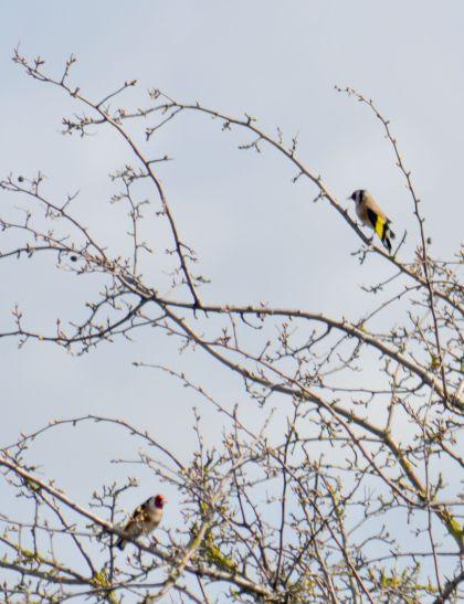 DSC_5914Goldfinches